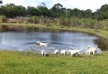 Padre labrador enseña a sus cachorros a nadar