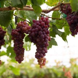Beneficios de la uva roja para la piel, el cabello y la salud