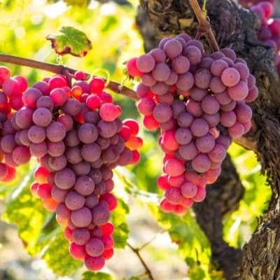 Beneficios de la uva roja