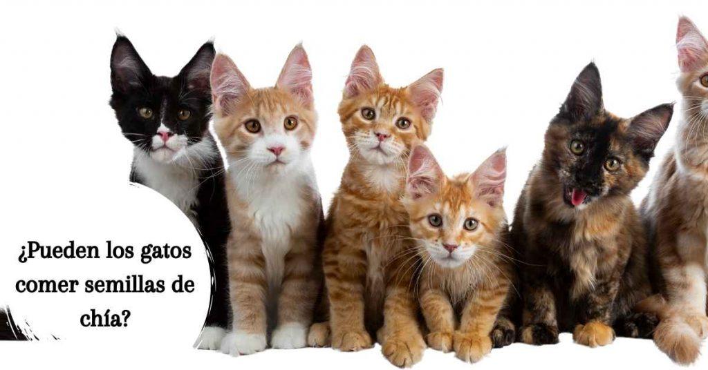 Pueden los gatos comer semillas de chía